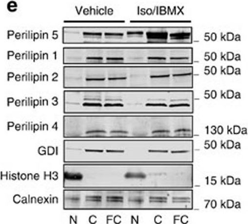 Nuclear Perilipin 5 integrates lipid droplet lipolysis with PGC-1α/SIRT1-dependent transcriptional regulation of mitochondrial function.