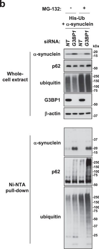 G3BP1 inhibits ubiquitinated protein aggregations induced by p62 and USP10.