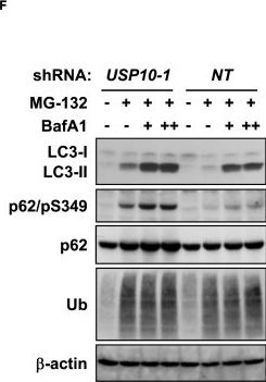 USP10 Is a Driver of Ubiquitinated Protein Aggregation and Aggresome Formation to Inhibit Apoptosis.