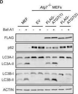 A short isoform of ATG7 fails to lipidate LC3/GABARAP.