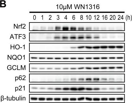 A novel acylaminoimidazole derivative, WN1316, alleviates disease progression via suppression of glial inflammation in ALS mouse model.