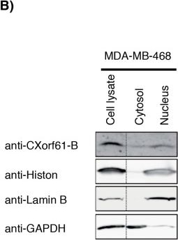 CXorf61 is a target for T cell based immunotherapy of triple-negative breast cancer.