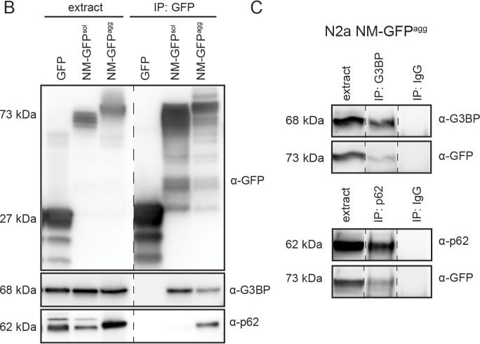 Fibril-induced glutamine-/asparagine-rich prions recruit stress granule proteins in mammalian cells.