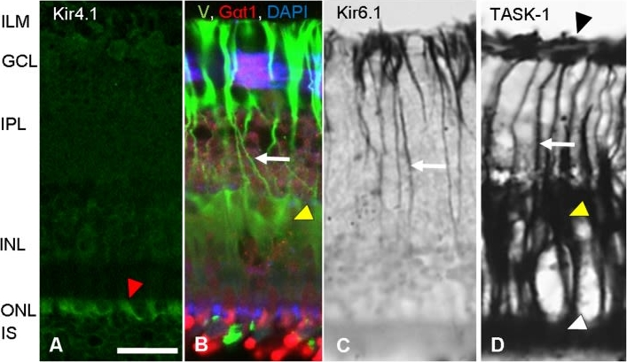 Unidirectional photoreceptor-to-Müller glia coupling and unique K+ channel expression in Caiman retina.