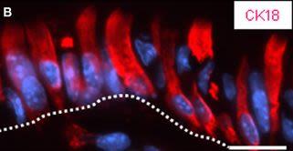 Band-like arrangement of taste-like sensory cells at the gastric groove: evidence for paracrine communication.