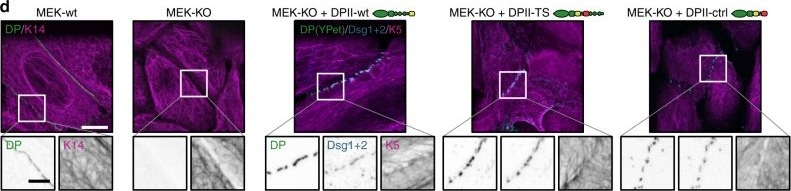 Mechanical loading of desmosomes depends on themagnitude and orientation of external stress.