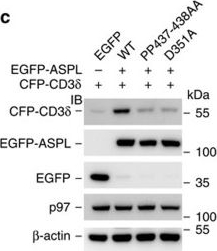 Quantitative interaction mapping reveals an extended UBX domain in ASPL that disrupts functional p97 hexamers.