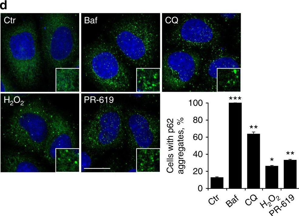 Oxidation of SQSTM1/p62 mediates the link between redox state and protein homeostasis.
