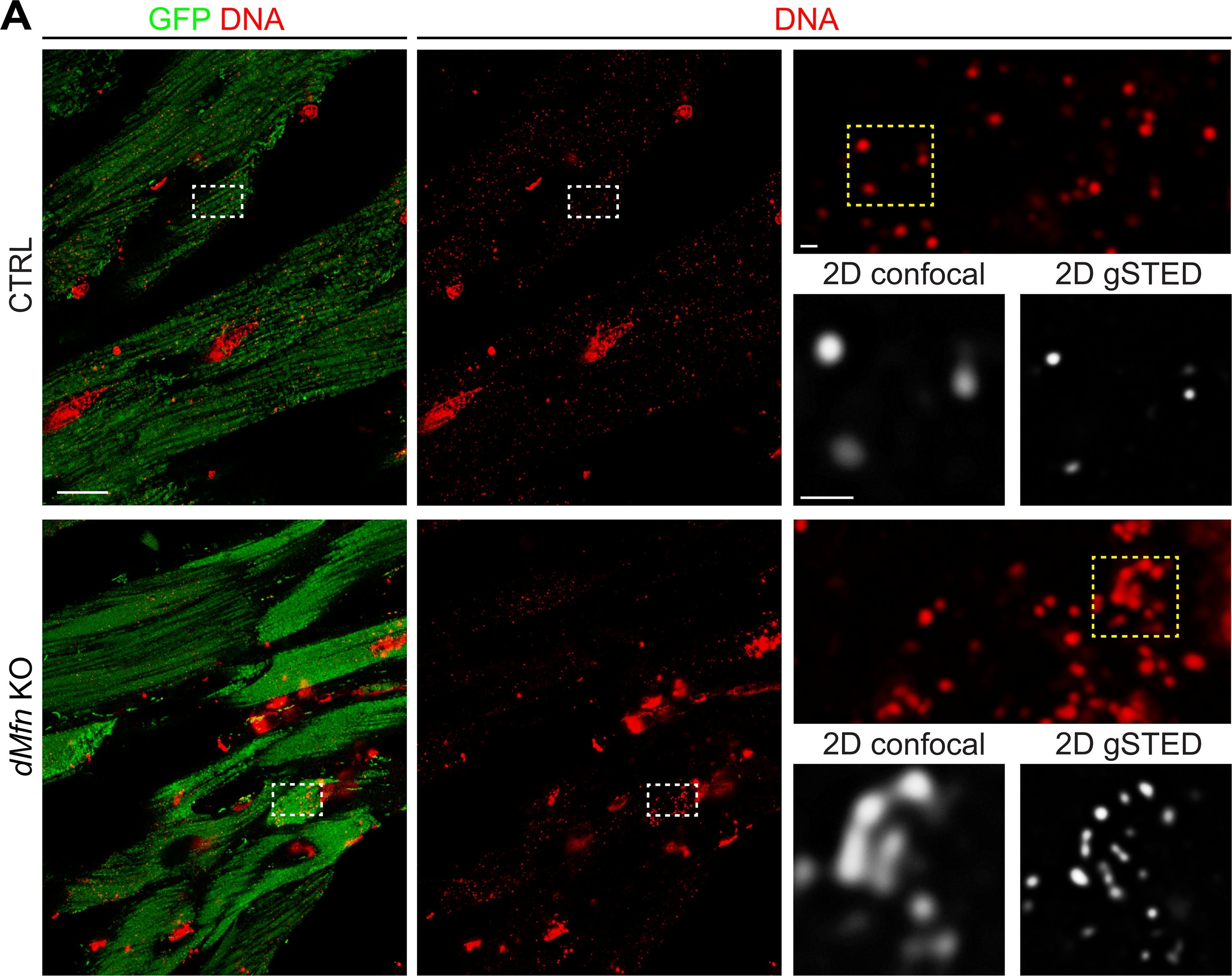 Mitochondrial fusion is required for regulation of mitochondrial DNA replication.
