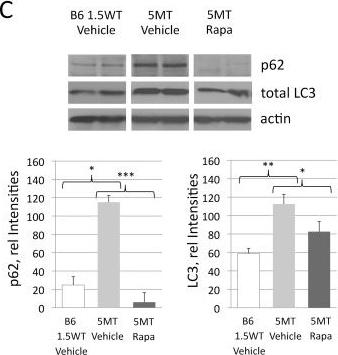 Rapamycin attenuates the progression of tau pathology in P301S tau transgenic mice.
