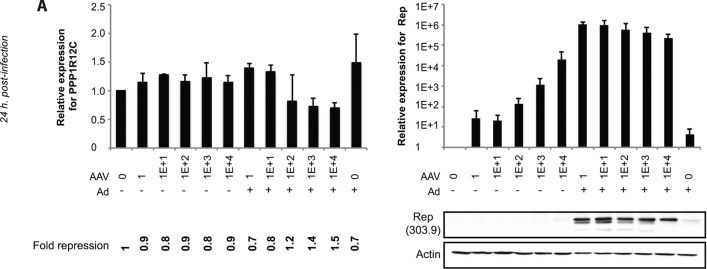 Adeno-associated virus Rep represses the human integration site promoter by two pathways that are similar to those required for the regulation of the viral p5 promoter.