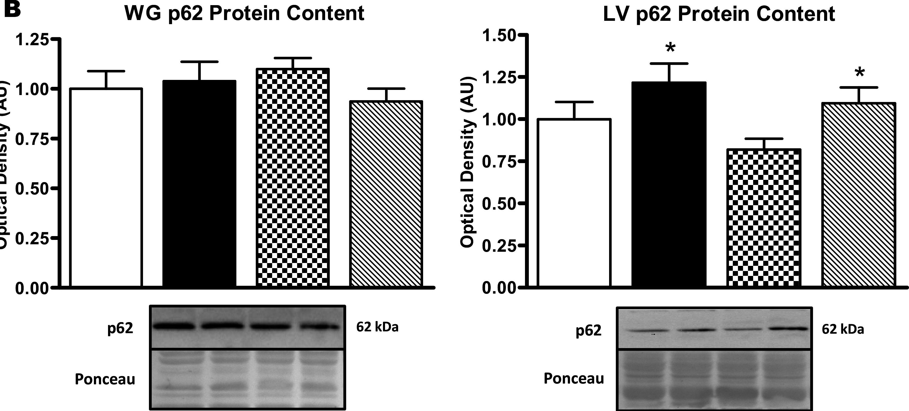 Autophagic signaling and proteolytic enzyme activity in cardiac and skeletal muscle of spontaneously hypertensive rats following chronic aerobic exercise.