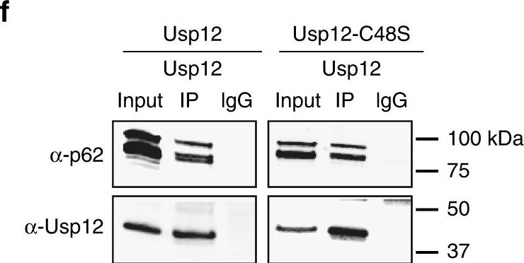 Deubiquitinase Usp12 functions noncatalytically to induce autophagy and confer neuroprotection in models of Huntington's disease.