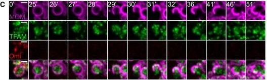 Mitochondrial inner membrane permeabilisation enables mtDNA release during apoptosis.